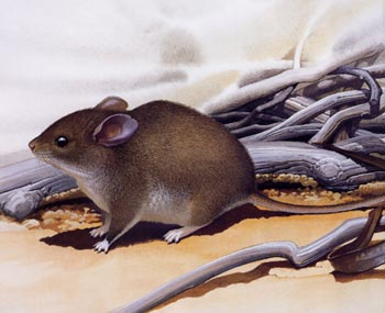 Stick-nest rat