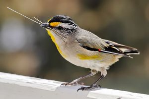 800px-Pardalotus_with_nesting_material