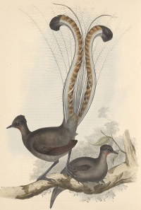 superb_lyrebird_gould_600