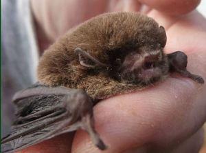 choc wattled bat